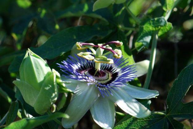 passion-vine-flower