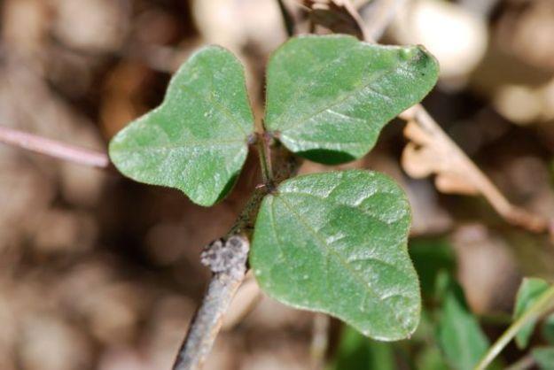 phaseolus-leaves