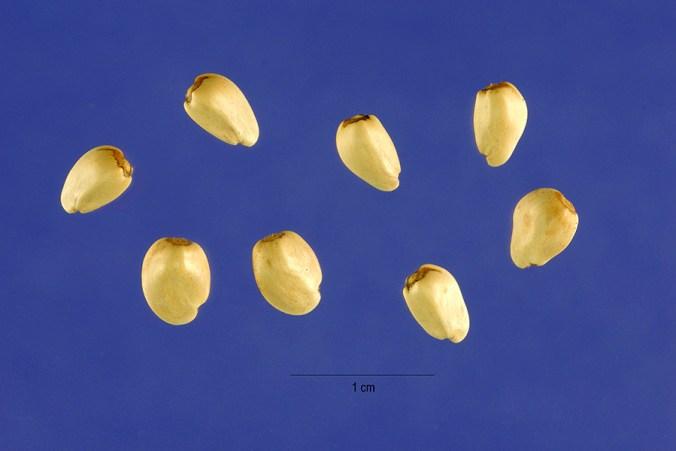carthamus-oxyacanthus