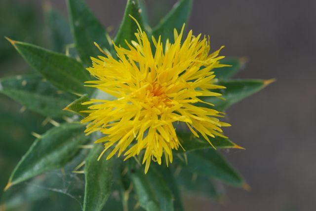 safflower-flower-2
