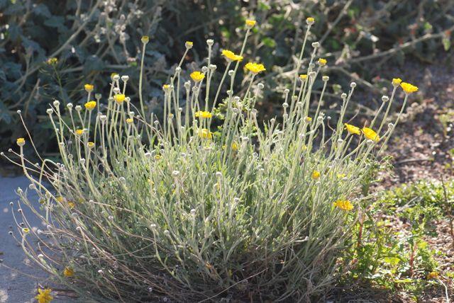 desert-marigold-plant-2