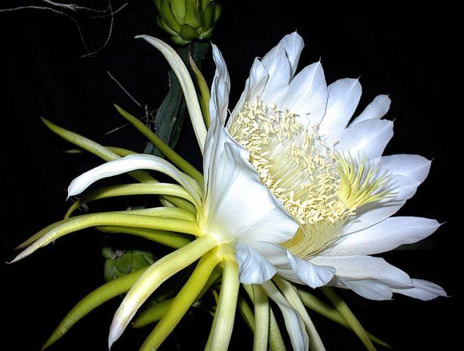 H-Undatus-flower