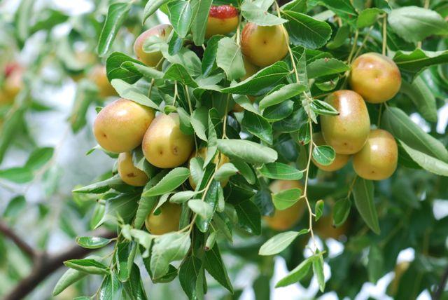 jujube-fruit