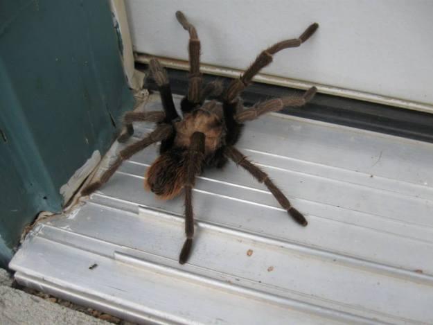 tarantula-by-Robyn's-husband