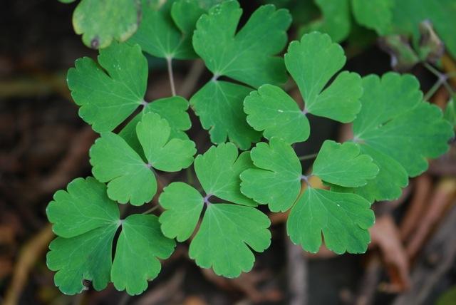 blue-columbine-leaves