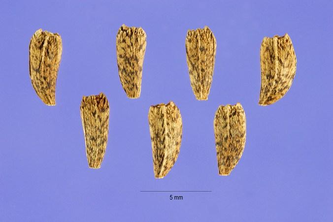 burdock-seeds