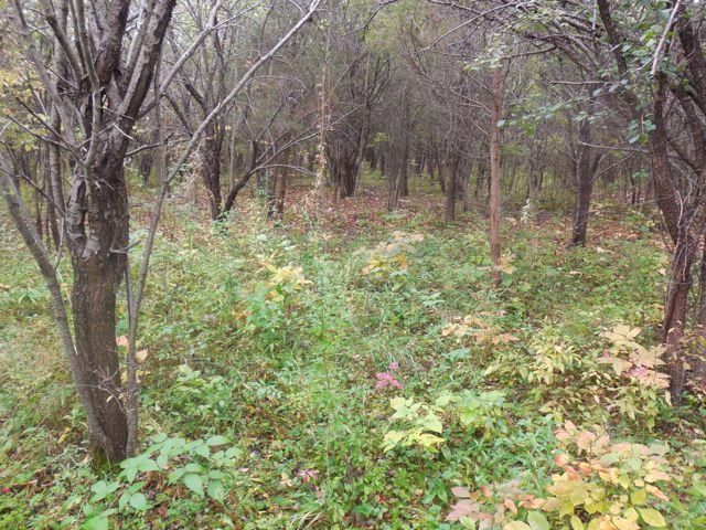buckthorn-forest