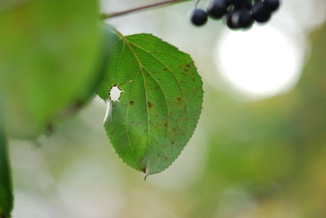 buckthorn-leaves-more