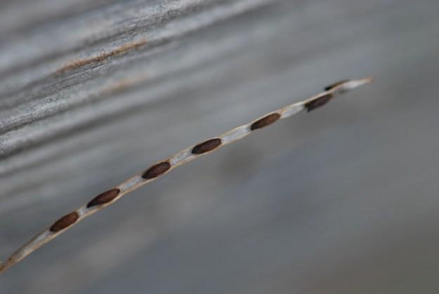 mystery-seed-183-pod
