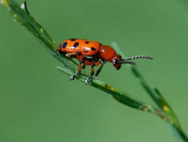 2013-asparagus-beetle