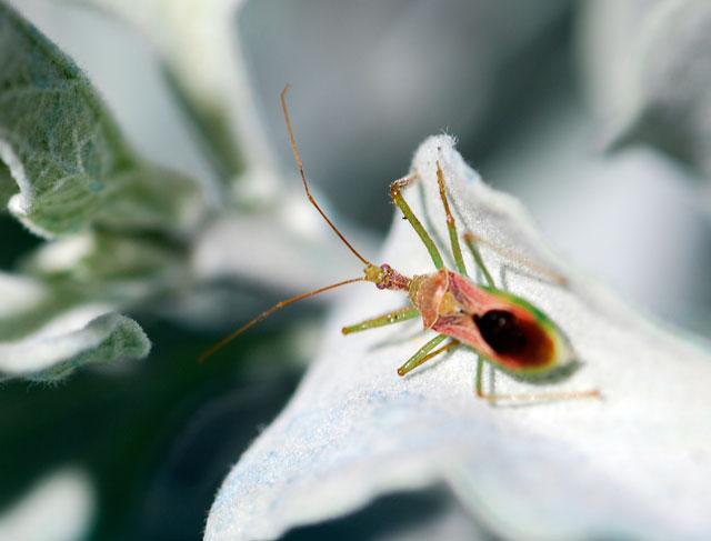 assassin-bug-on-brittle-bush-leaf-1