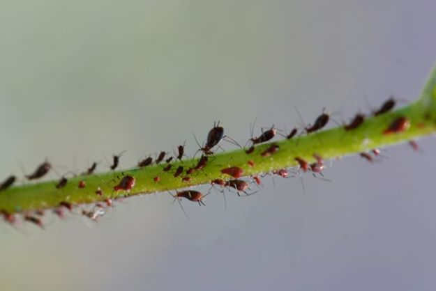 brittle-bush-aphids-close-8