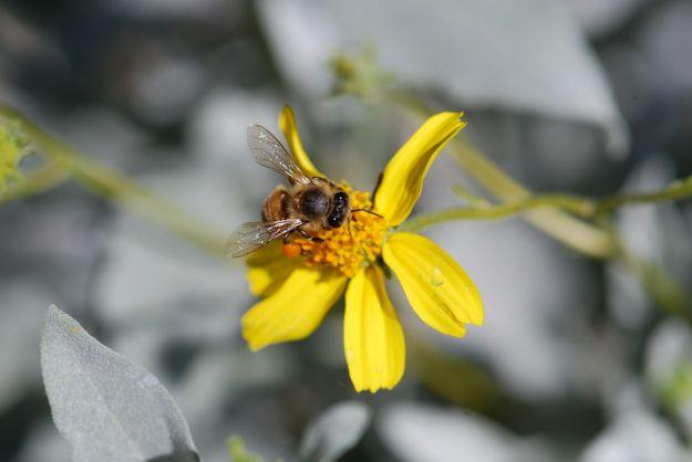 brittlebush-honey-bee-3