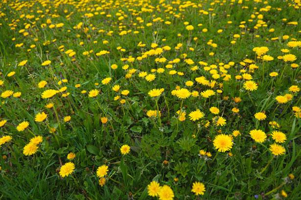 dandelion-field-2