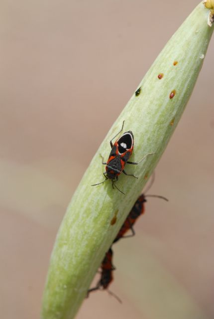 milkweed-bug-great