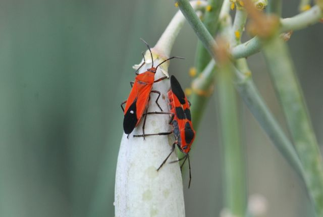 very-nice-milkweed-bugsJPG