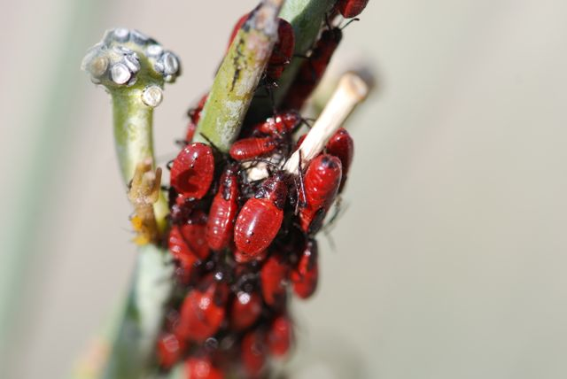 milkweed-bug-nymphs-later
