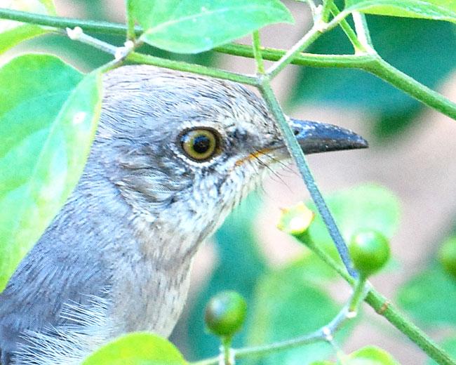 mocking-bird-close