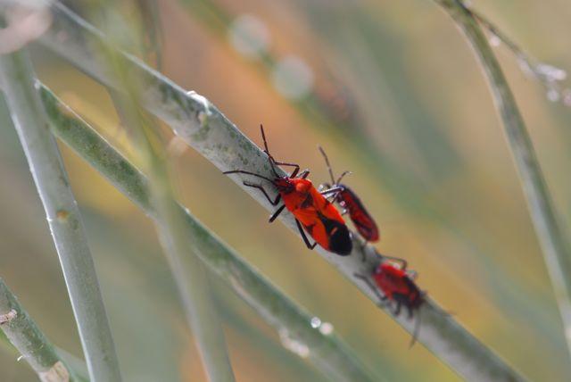 newly-emerged-milkweed-bug-best