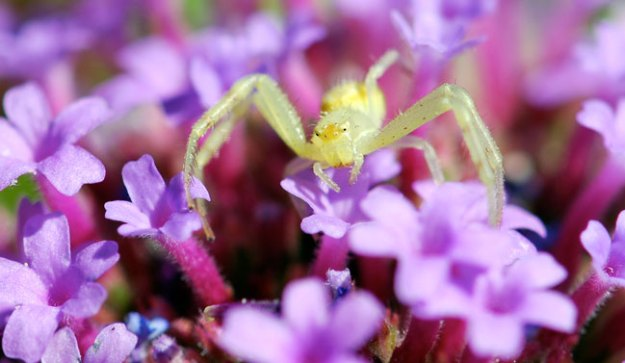 crab-spider-on-purple-100