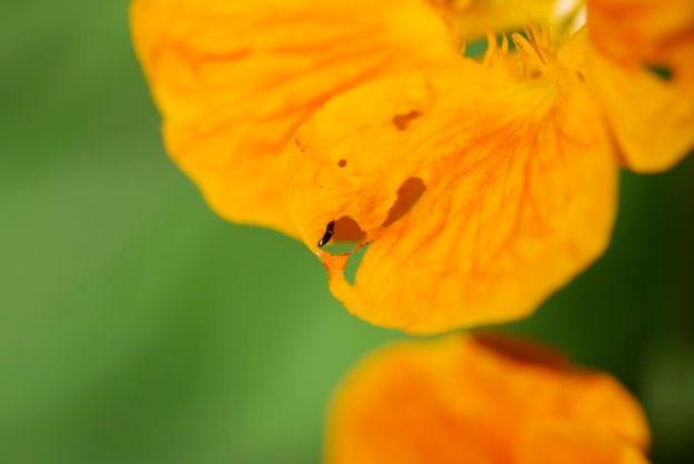 nasturtium-what-is-eating