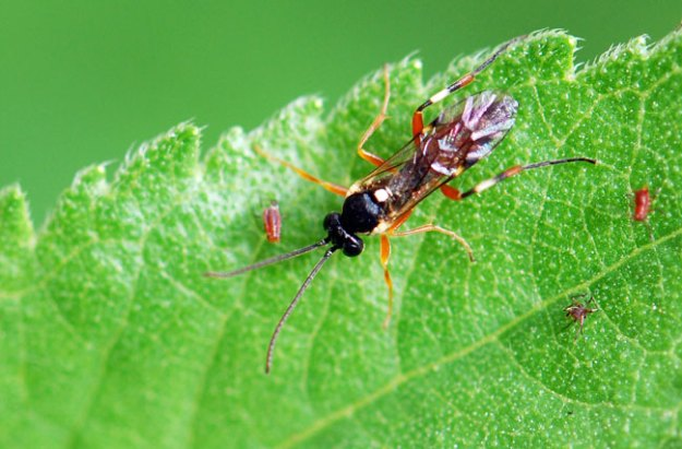 parasitic-wasp-222