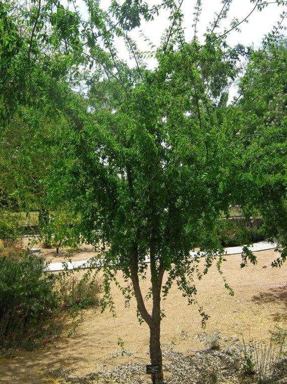 canyon-hackberry-tree