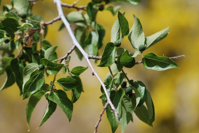 hackberry-branch-with-berries
