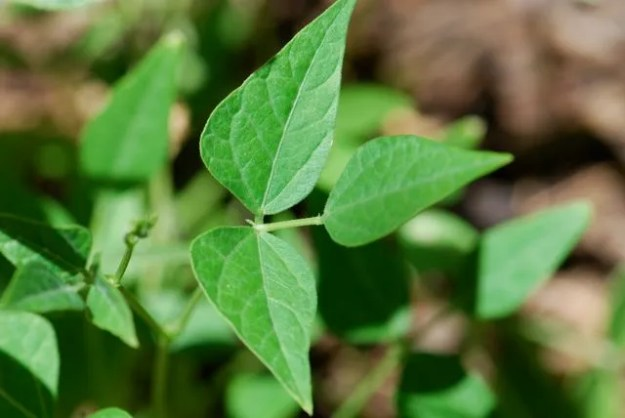 tepary-bean-leaf-11