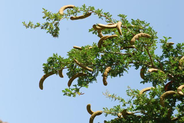 texas-ebony-branch