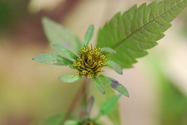 beggars-tick-flower