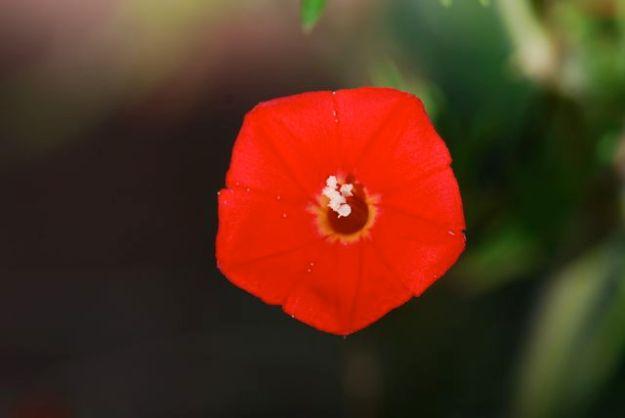 best-cardinal-climber-flower