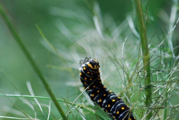 black-swallowtail-larva-Papilio polyxenes-22