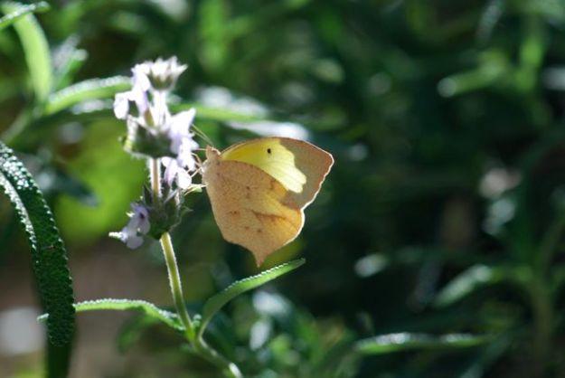 dog-face-butterfly-234