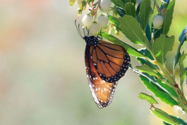 tattered-queen-butterfly