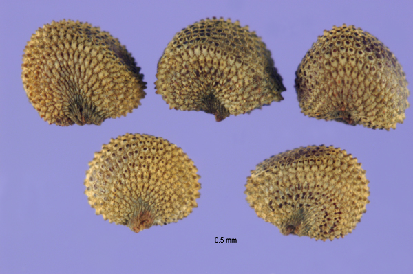 Silene_latifolia-seeds-1