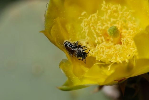 covered-with-pollen-bee