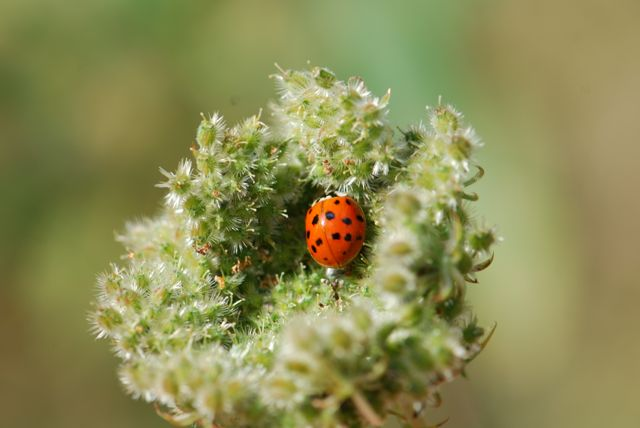 ladybug-in-queen-annes-lace