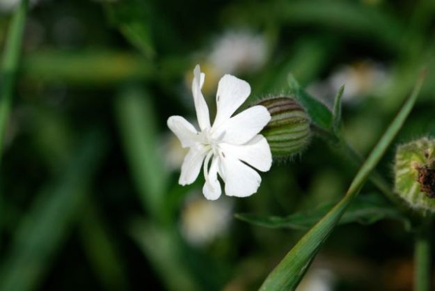silene-flower-campion