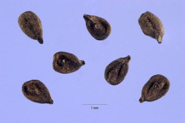 mystery-seed-233-USDA