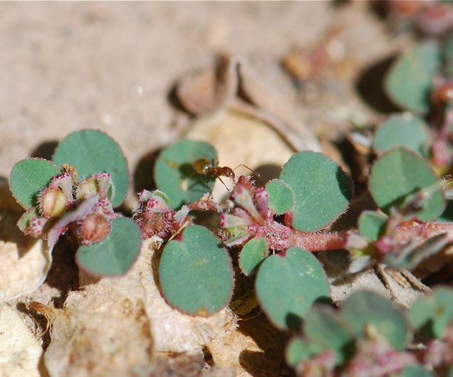 spurge-ant-flower