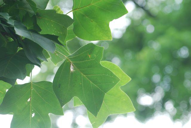 tulip-tree-leaves-3