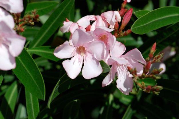 oleander-flower-EVIT-1