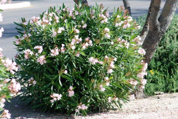 oleander-plant-EVIT