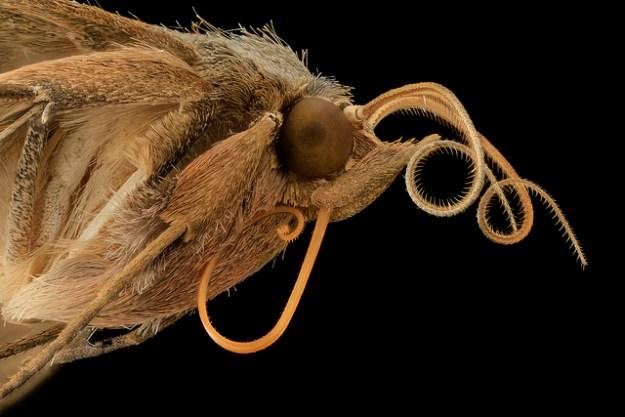 velvetbean-moth
