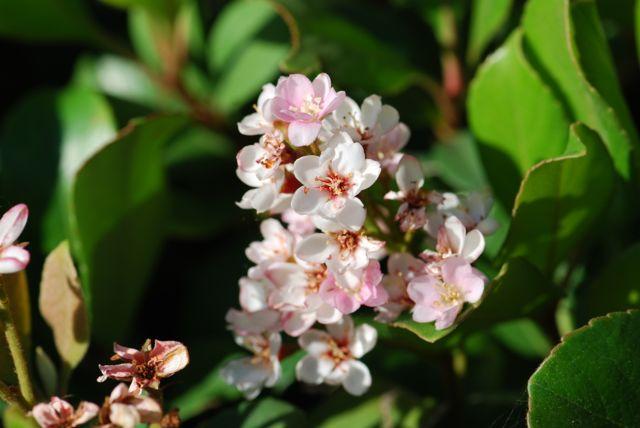 Indian-hawthorne-flowers