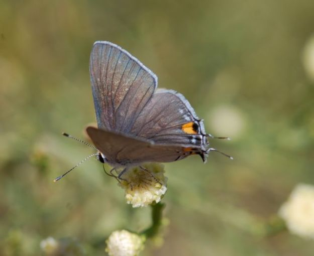 hairstreak-butterfly257