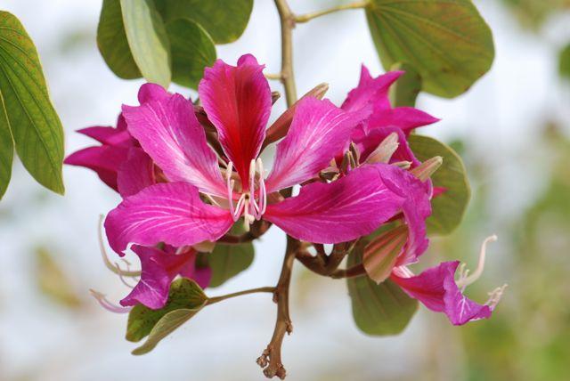 hong-kong-orchid-tree-cluster-1