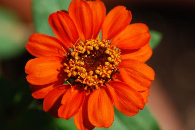 medium-orange-zinnia-22