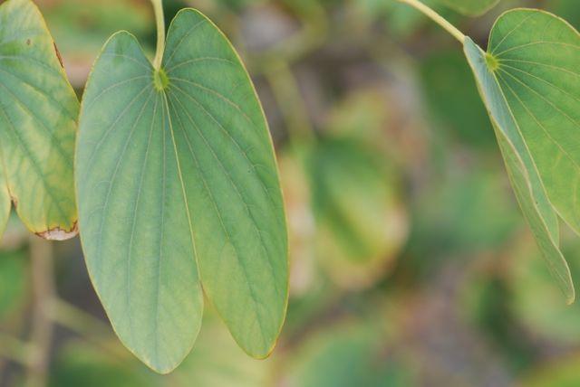 orchid-tree-leaf-34